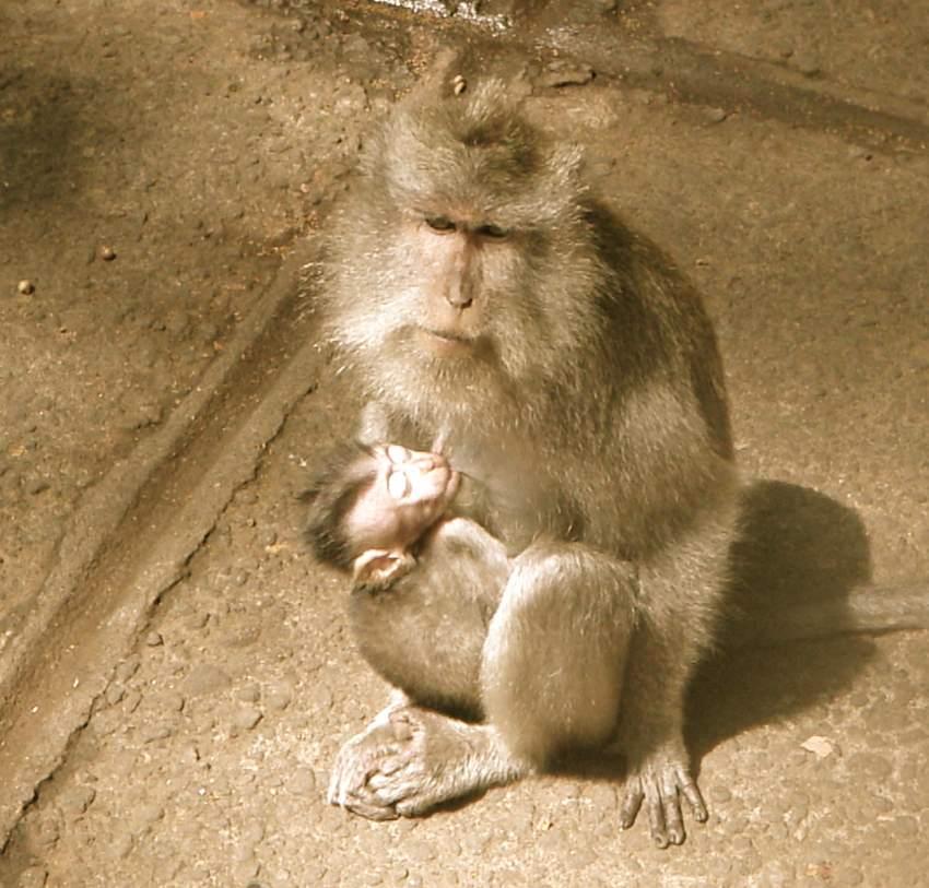 the monkeys of ubud