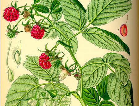 raspberry leaf tea, pregnancy ITP raspberry leaf, pasberry leaf, ITP Pregnancy, gestational thrombocytopenia, immune thrombocytopenia during pregnancy, breastfeeding with ITP,